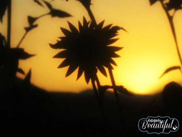 single sunflower sunset