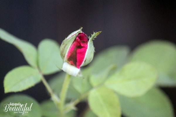 fall-red-rosebud