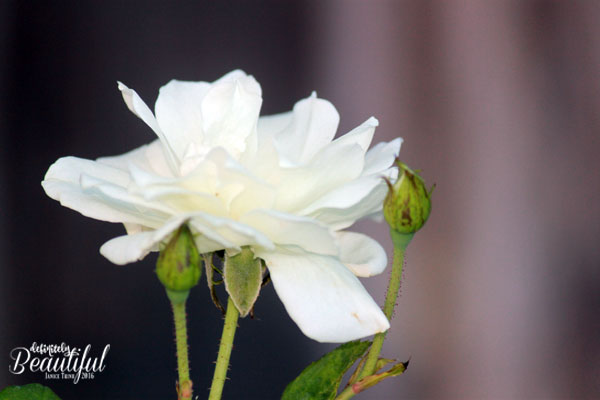 fall-white-rose